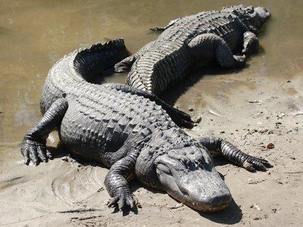 File:Orlando-florida-alligator-2.jpg