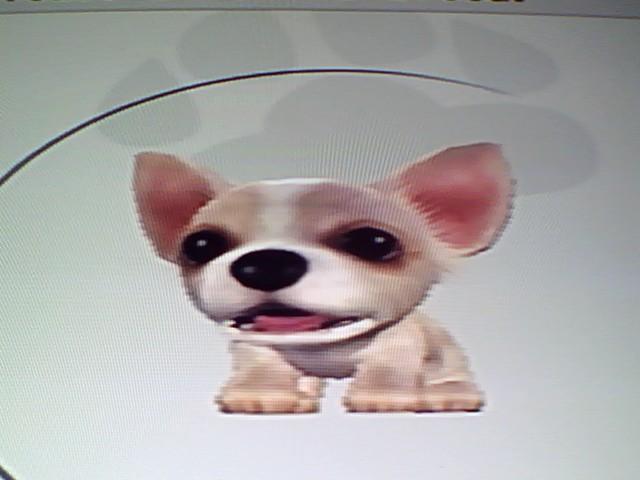 File:11 White Chihuahua.jpg