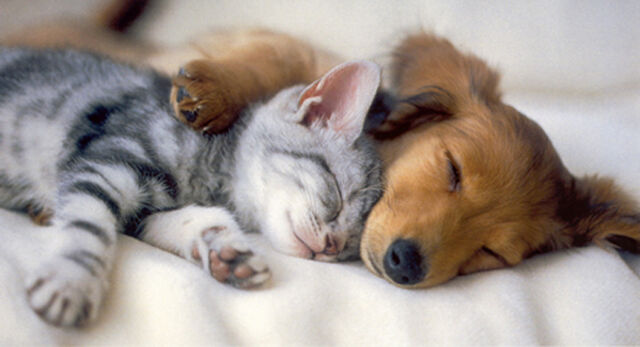 File:Kitten and puppy sleeping.jpg