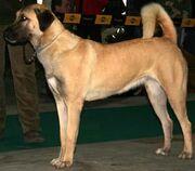 Anatolian-shepherd-dog-21471015707 xlarge