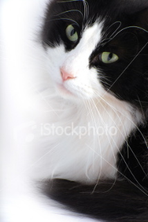 File:Istockphoto 4634571-black-and-white-cat.jpg