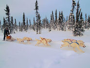800px-White huskies dog sledding