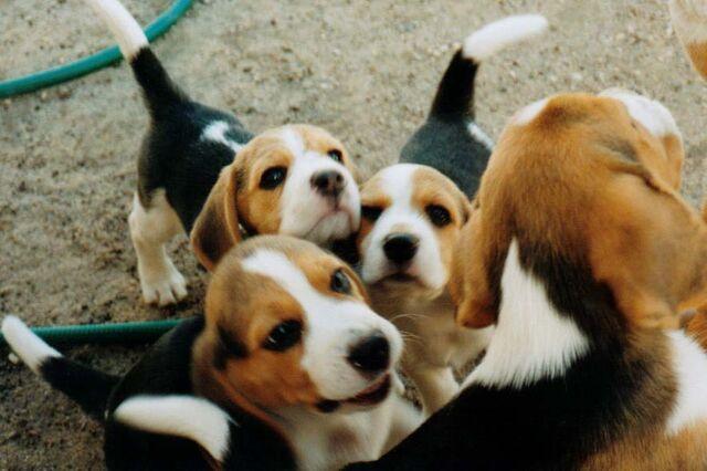 File:Beagle puppies.jpg