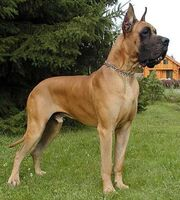 Fawn Great Dane 6973 20110909030427