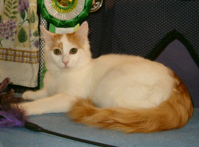 File:Tabby Turkish Van.jpg