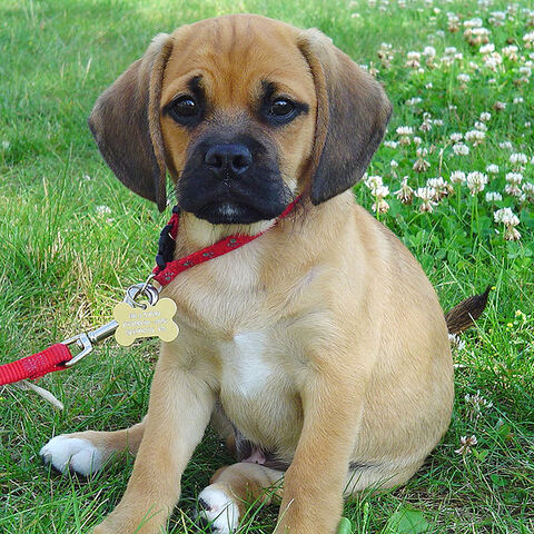 File:Puggle puppy.jpg