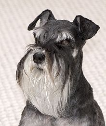 File:220px-Miniature Schnauzer portrait Mattie.jpg