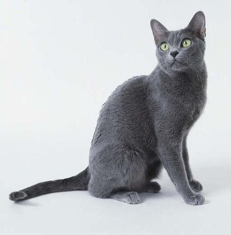 File:Korat cat.jpg