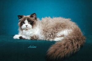 Selkirk Rex cat 2