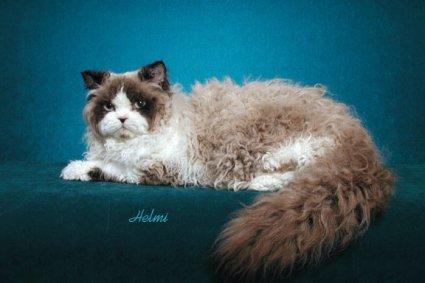 File:Selkirk Rex cat 2.jpg