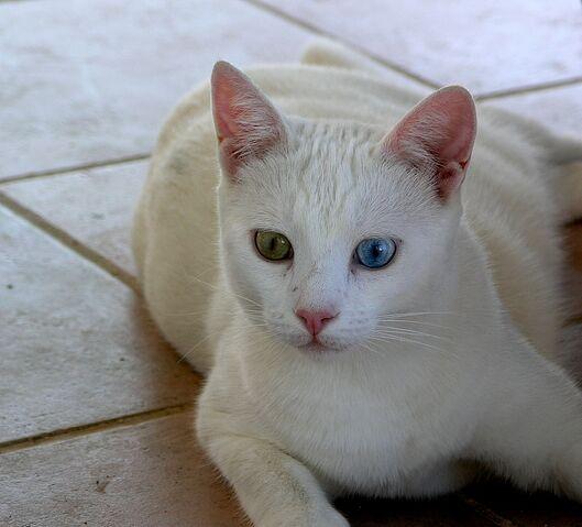 File:Fabullous Turkish Van cat.jpg