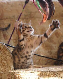 Bengal kitten playing