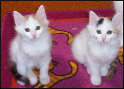 File:Turkish Van kittens.jpg
