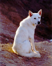 220px-Canaan Dog