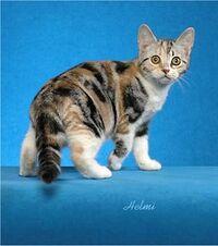 Silver classic torbie cat