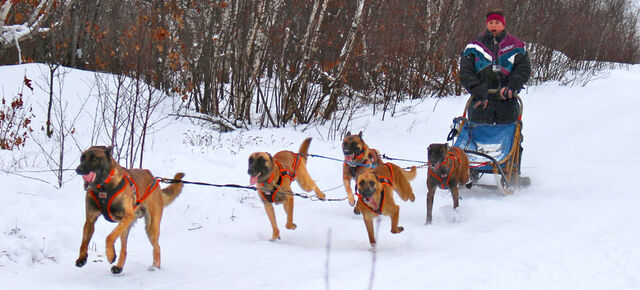 File:Belgian Malinois Team Pulling a Dogsled.jpg