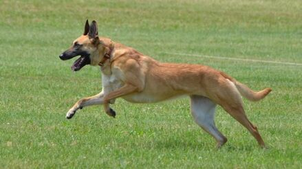 Belgian Malinois Lure Coursing