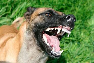 Belgian Malinois Growling