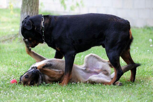 File:Belgian Malinois vs Rottweiler.jpg