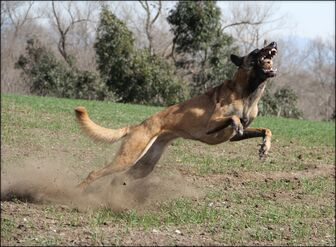Belgian Malinois Catching a Ball