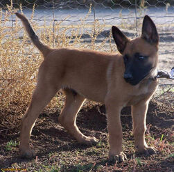 Belgian Malinois - Puppy