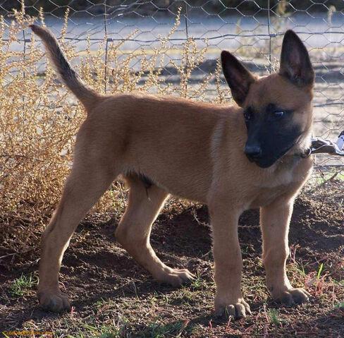 File:Belgian Malinois - Puppy.jpg