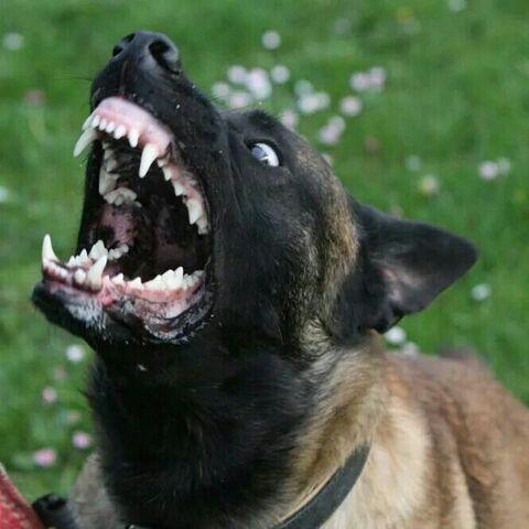 File:Belgian Malinois Barking.jpg