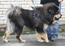 Tib Mastiff