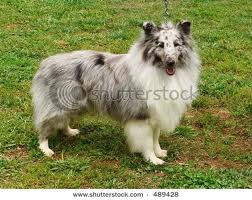 File:Shetland sheepdog.jpg