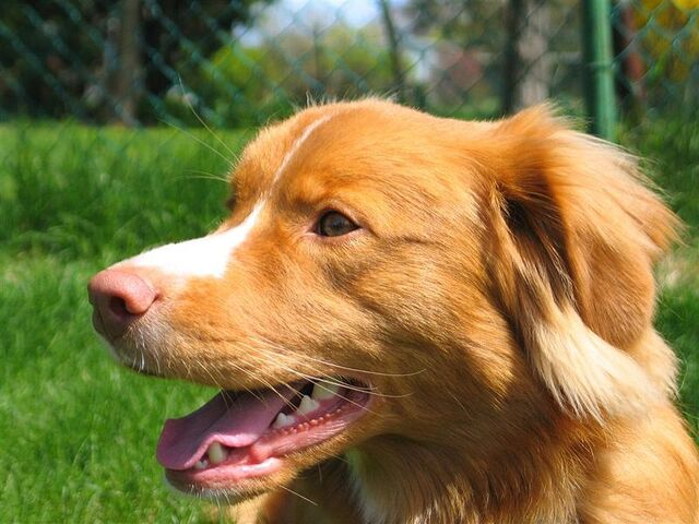 File:Nova Scotia Duck Tolling Retriever portrait.jpg