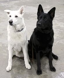 White-and-black-german-shepherd-dogs-pe1 zpsfaf999b2