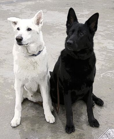 File:White-and-black-german-shepherd-dogs-pe1 zpsfaf999b2.jpg