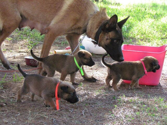 File:Belgian Malinois - Adult and Puppies.jpg