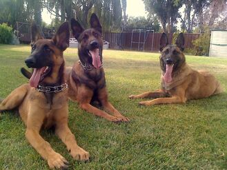 Pack of Belgian Malinois