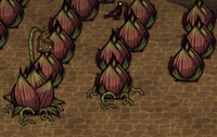 Lureplant stages.png