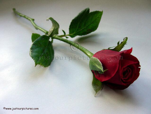 File:Red-rose-bud-on-stem.jpg