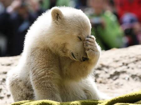 File:Knut berlin polar bear.jpg
