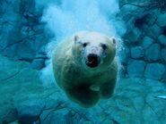 282314 Papel-de-Parede-Urso-Polar-Nadador 1280x960