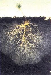 Mycorrhizal-fungi2