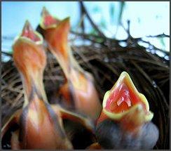 File:Begging baby birds border.jpg