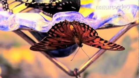 Supergene controls butterfly mimicry - by Nature Video