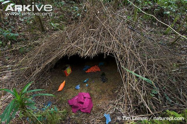 File:Bower-of-a-Vogelkop-bowerbird-decorated-with-natural-and-man-made-objects-1.jpg