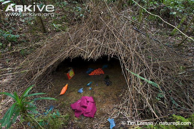 Bower-of-a-Vogelkop-bowerbird-decorated-with-natural-and-man-made-objects-1