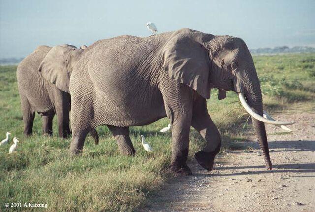 File:Elephants-birds.6-19.750px.jpg