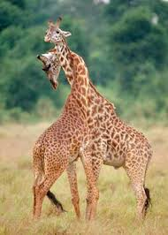 File:Giraffe.jpeg