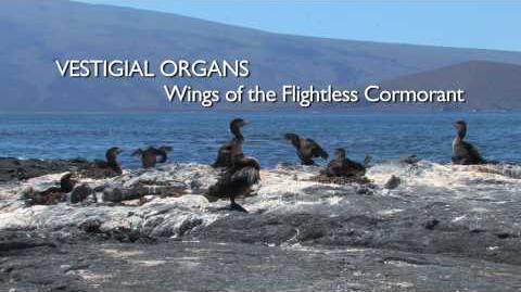Richard Dawkins Vestigial Organs The Wings of the Flightless Cormorant-0