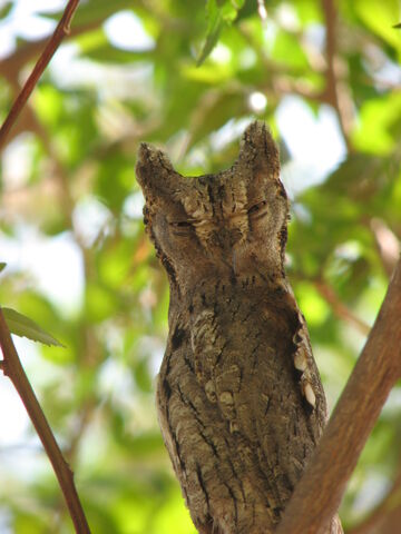 File:Owl Camouflage.jpg