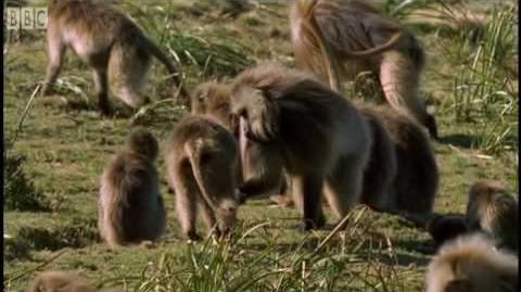 Defending a monkey harem - Clever Monkeys - BBC Earth