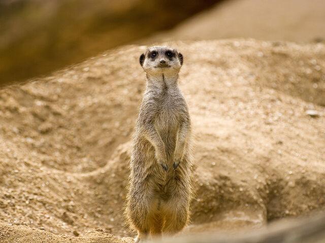 File:Meerkat-sune-set.jpg