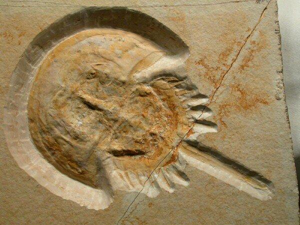 File:Fossil hsc.jpg
